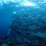 ギンガメの大群
